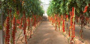 Выращивание томатов черри в теплице