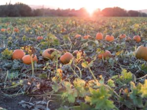 Бизнес-план выращивания тыквы