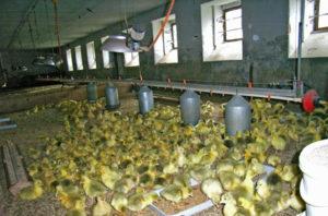 Бизнес план гусиной фермы с расчетами