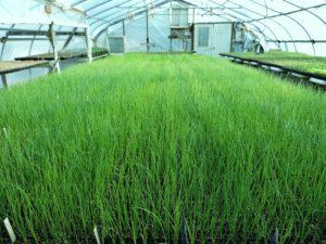 Выращивание зеленого лука в теплице круглый год