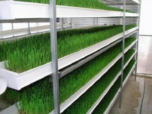 Выращивание зелени в теплице как бизнес — преимущества