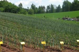 Бизнес-план выращивания чеснока