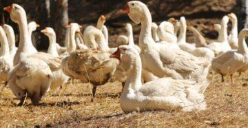 Выращивание гусей на мясо