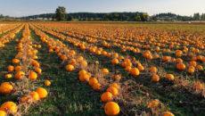 Выращивание тыквы как бизнес: рентабельность, отзывы